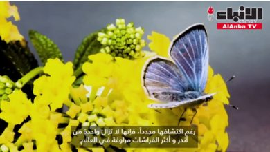 Photo of بالفيديو الفراشة الأكثر مراوغة في | جريدة الأنباء
