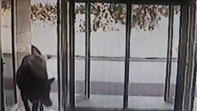 Photo of بالفيديو بقرة تقتحم فندقا في تركيا | جريدة الأنباء