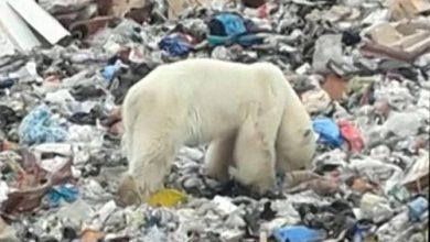 Photo of بالفيديو دبة قطبية تائهة في مدينة نوريلسك الروسية الصناعية بشمال سيبيريا