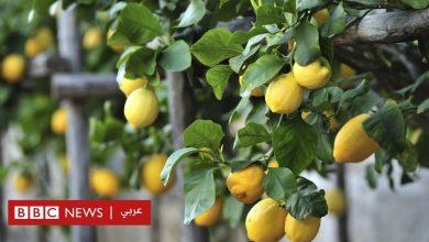 Photo of لماذا وصل سعر كيلو الليمون إلى 100 جنيه في مصر؟