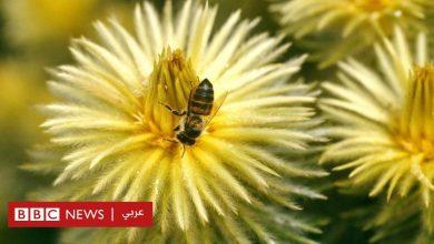 Photo of أفريقيا: نحل العسل مورد رزق غير مستغل لماذا؟
