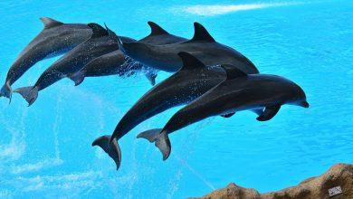 Photo of مجموعة كبيرة من الدلافين تسبح بالقرب من شاطئ لاجونا قبالة ساحل جنوب كاليفورنيا
