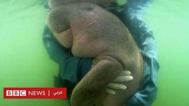 Photo of مريم بقرة البحر التي عثر عليها في تايلاند