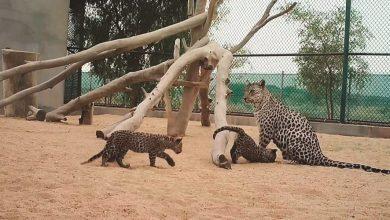 Photo of بالفيديو ولادة صغيرين من النمور