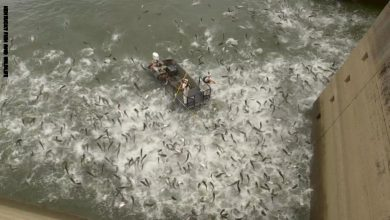 Photo of بالفيديو مئات الأسماك تتطاير خارج | جريدة الأنباء