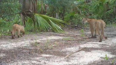 Photo of اضطراب عصبي غامض يصيب حيوانات الفهد والوشق ويمنعها من التنقل بشكل طبيعي