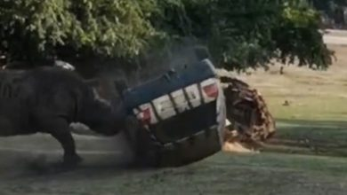 Photo of بالفيديو وحيد قرن في ألمانيا يهاجم | جريدة الأنباء