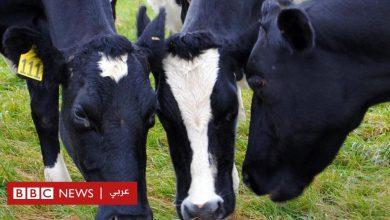 Photo of تجربة داخل أمعاء الأبقار قد تسهم في إنقاذ كوكب الأرض