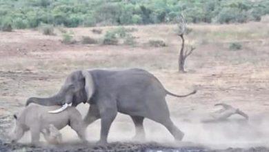 Photo of معركة بين وحيد قرن و فيل