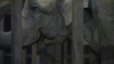 Photo of وصول أنثى فيل أنقذت من مشقات عروض | جريدة الأنباء