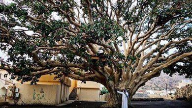 Photo of سقوط شجرة تجاوز عمرها 500