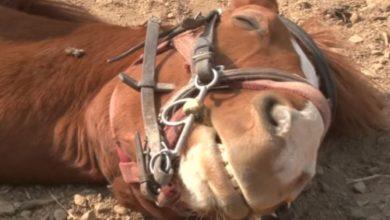Photo of لماذا يتظاهر هذا الحصان بأنه ميت