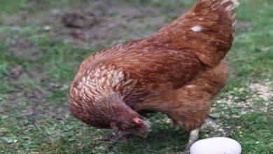 Photo of بالفيديو دجاجة تثير السوشيال ميديا | جريدة الأنباء