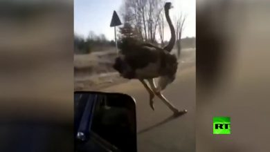 Photo of بالفيديو من الأسرع سيارة أم نعامة؟ | جريدة الأنباء