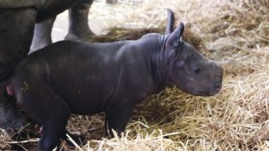 Photo of بالفيديو ولادة وحيد قرن أبيض في   جريدة الأنباء