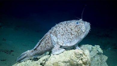 Photo of سمكة غريبة تمشي في قاع البحر