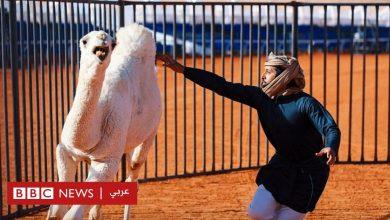 Photo of مسابقة مثيرة لمصارعة الإبل في السعودية