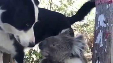 Photo of بالفيديو صداقة بين كلب وكوالا وسط   جريدة الأنباء