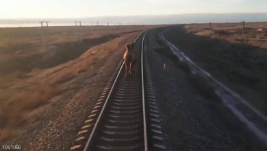 Photo of الجمل العنيد يؤخر القطار ساعة | جريدة الأنباء