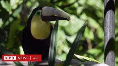 Photo of كيف أصبح هذا الطائر رمزا لانتهاك الحيوان؟
