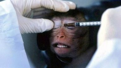 Photo of نقل فيروس كورونا لـ 2400 قرد لتطوير اللقاح المناسب