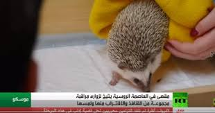 Photo of بالفيديو مقهى خاص للعب مع القنافذ | جريدة الأنباء