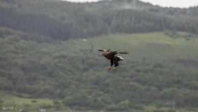 Photo of ظهور أكبر طائر جارح في بريطانيا لأول مرة منذ عاما