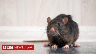 Photo of فيروس كورونا: لماذا جعلت جائحة مرض كوفيد-19 الفئران أكثر عدوانية؟
