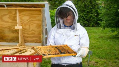 Photo of فيروس كورونا: كيف أدى الوباء إلى إنقاذ حياة النحل البري؟