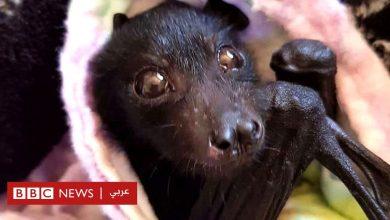 Photo of فيروس كورونا: قصة المنظمة التي تعتني بالخفافيش وتعيد إطلاقهم للطبيعة