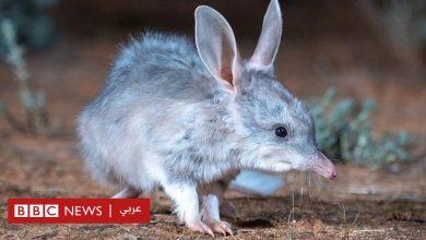 Photo of الحيوان النادر الذي يتكاثر بعد ١٠٠ عام من الغياب