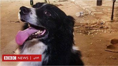 Photo of انفجار بيروت: من هو فلاش، الكلب الذي عثر على مفقودين تحت الأنقاض؟