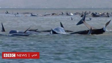 Photo of محاولات مضنية لإنقاذ مئات الحيتان التي جنحت إلى الشاطئ بتسمانيا
