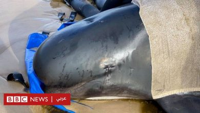 Photo of نفوق مئات الحيتان على السواحل الأسترالية رغم جهود الإنقاذ