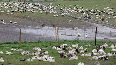 Photo of إعدام ألف بطة في فرنسا لتفشي إنفلونزا الطيور بسرعة خيالية