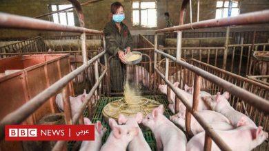 Photo of هواوي: الشركة الصينية تستثمر في مزارع للخنازير مع تعثر مبيعات أجهزتها الذكية