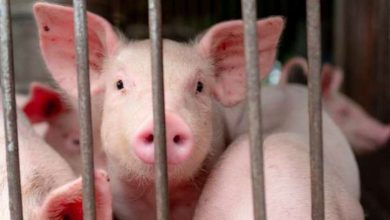 Photo of الصين تعلن عن تفشي حمى الخنازير | جريدة الأنباء