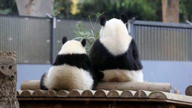 Photo of حمل باندا في حديقة حيوانات يابانية | جريدة الأنباء