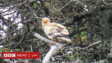 Photo of النسر المصري: ما قصة الطائر النادر الذي ظهر في بريطانيا بعد 150 عاماً؟