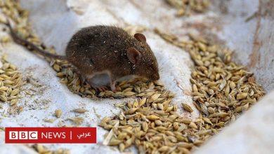 Photo of الفئران تجبر السلطات في أستراليا على إجلاء آلاف النزلاء من أحد السجون