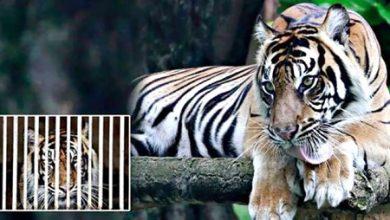 Photo of نمرا سومطرة مصابان بـكوفيد-19 في   جريدة الأنباء