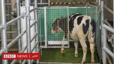Photo of تغير المناخ: علماء ألمان يدربون البقر على استخدام المراحيض